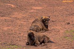 Der Wisent oder Europäische Bison (Bos bonasus)