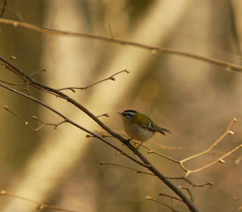Der wohl kleinste Vogel