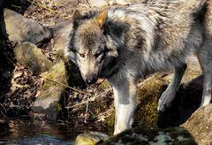 """Der Wolf, alle sprechen von ihm, ich habe ihn...""""fotogeshootet"""" (neue Wortschöpfung)"""
