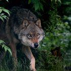 Der Wolf aus dem Märchen