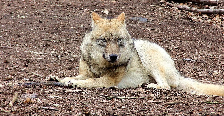 ............der wolf..............