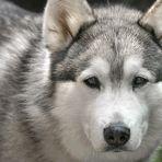 Der Wolf - die Rückkehr