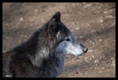 """""""Der Wolf"""""""