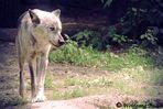 Der Wolf II