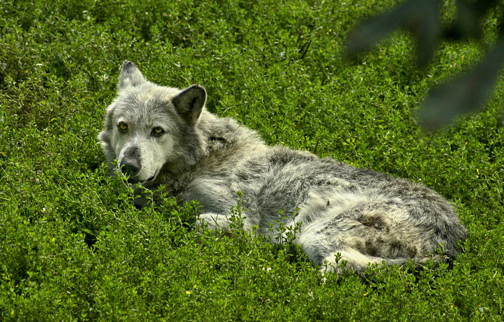 Der Wolf im Schafspelz?