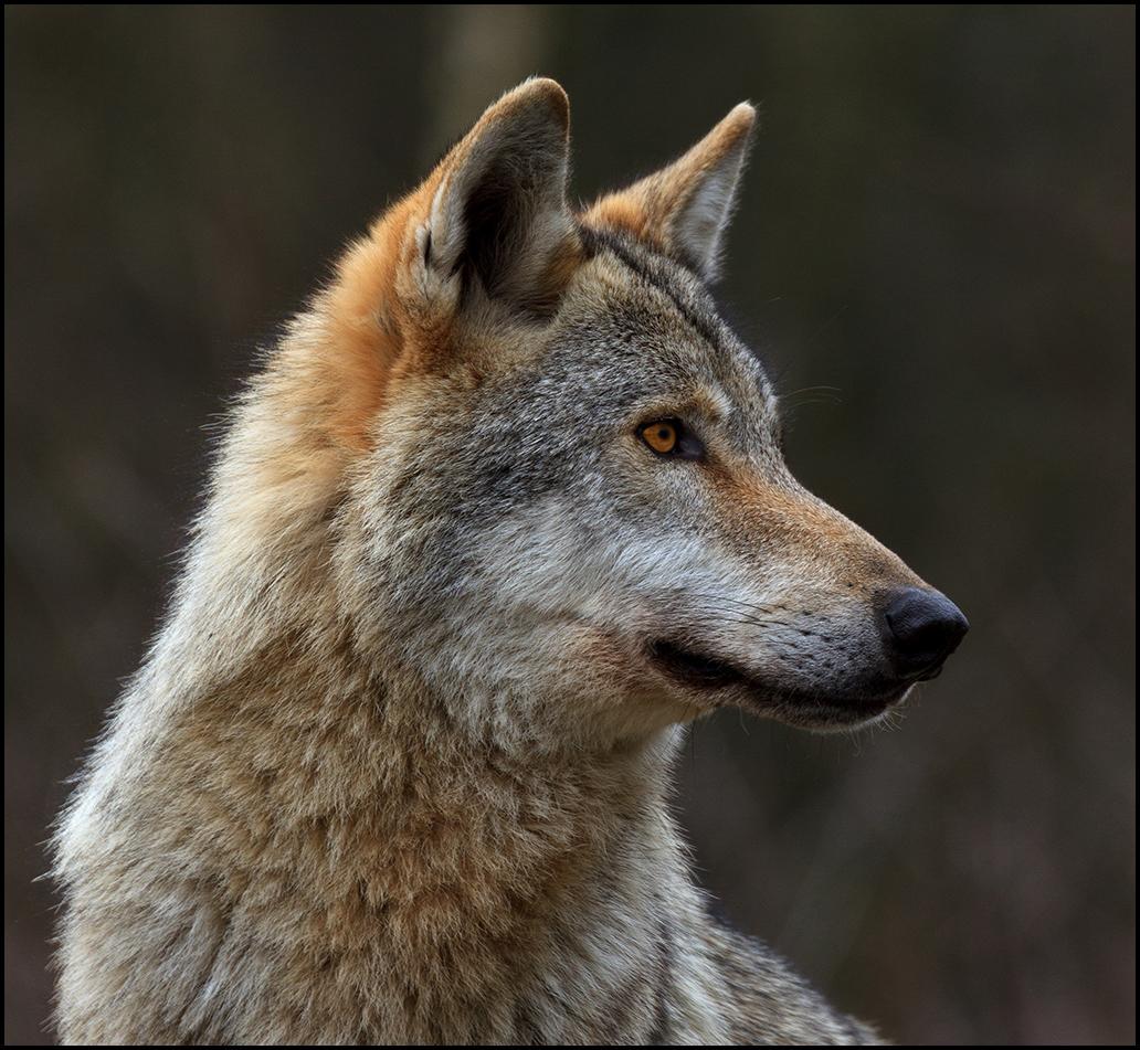 Der Wolf IV