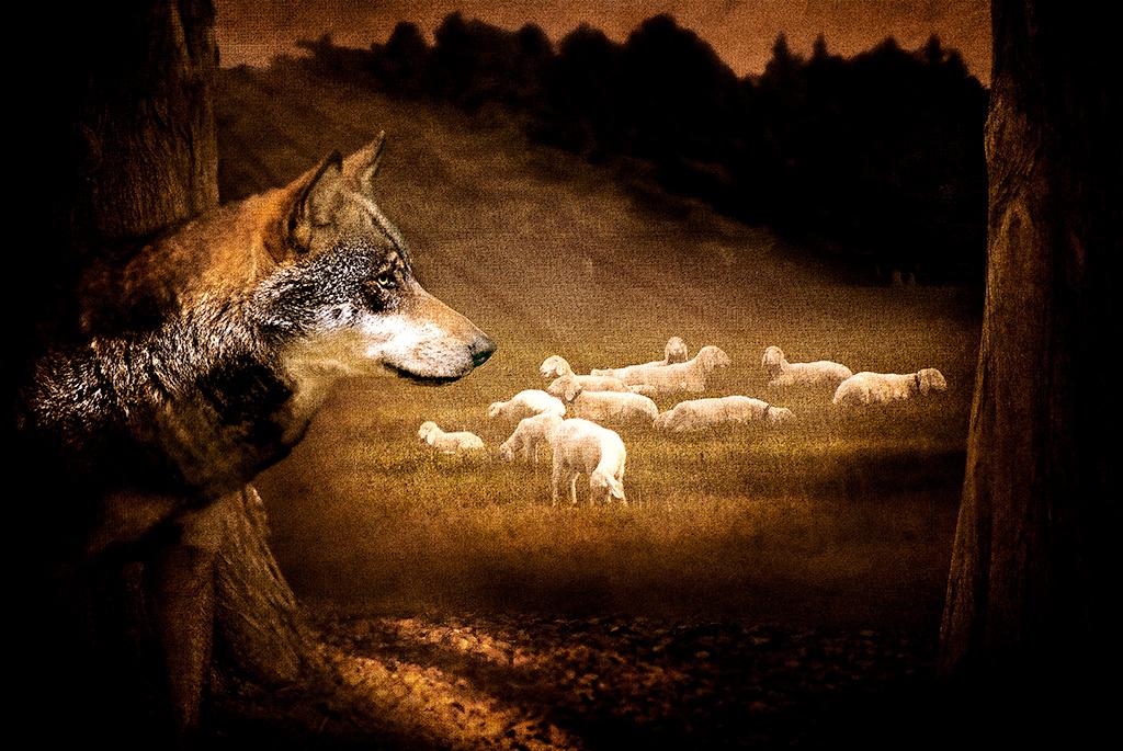 Der Wolf und die Herde