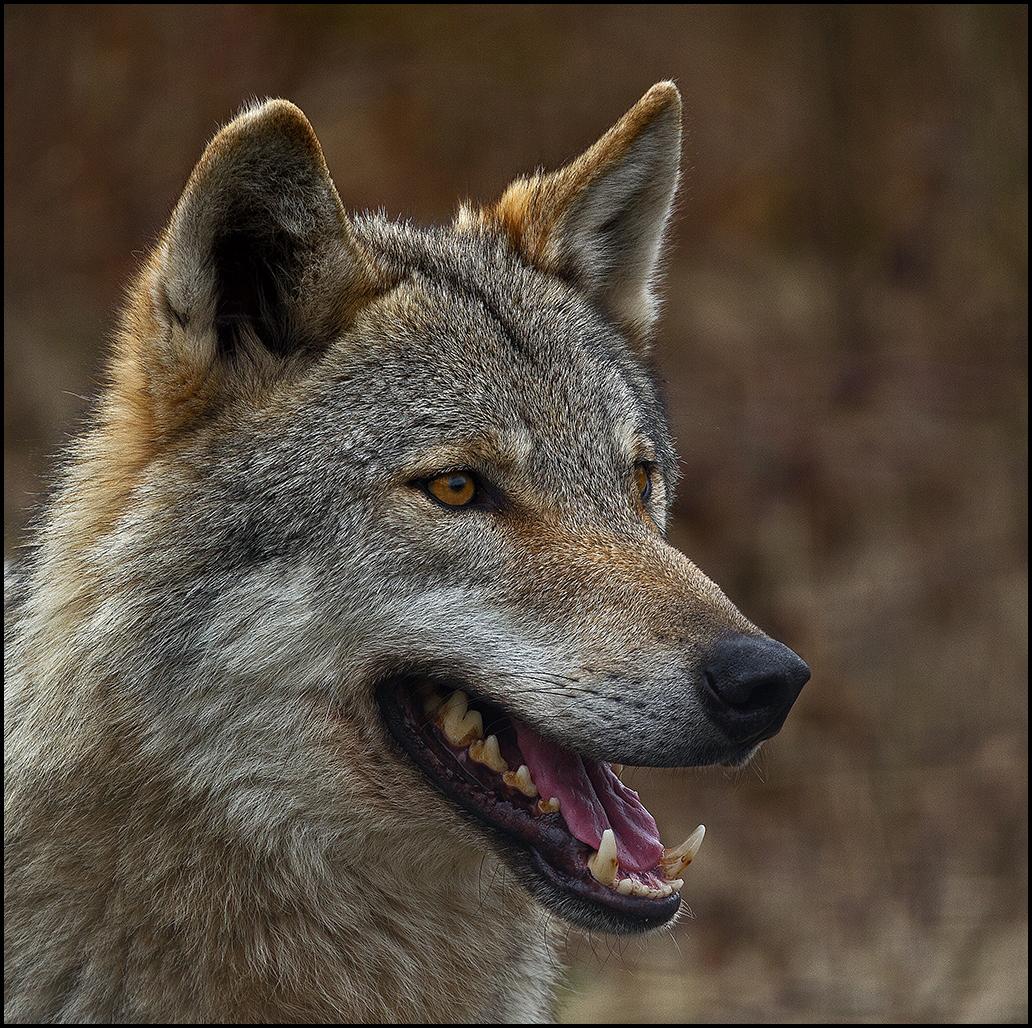 Der Wolf V