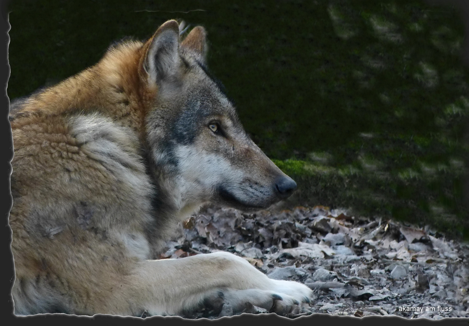 Der Wolf - Wolfsleben Teil 2