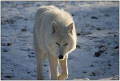 Der Wolfsblick