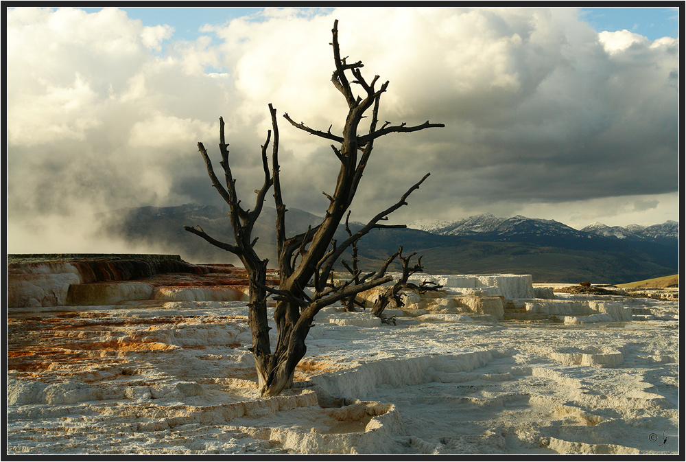 """""""Der"""" Yellowstonebaum..."""