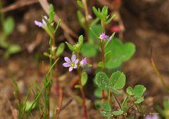 Der Ysop-Weiderich (Lythrum hyssopifolia)