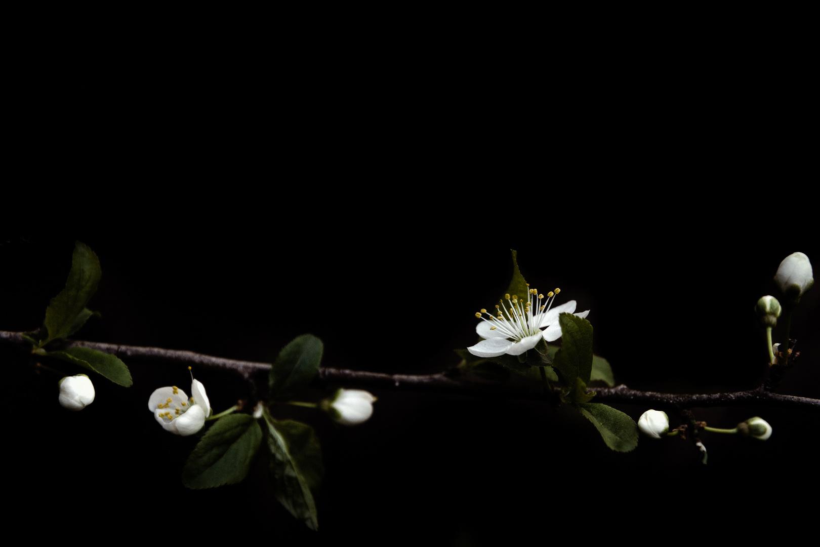 Der Zauber der Kirschpflaumenblüte
