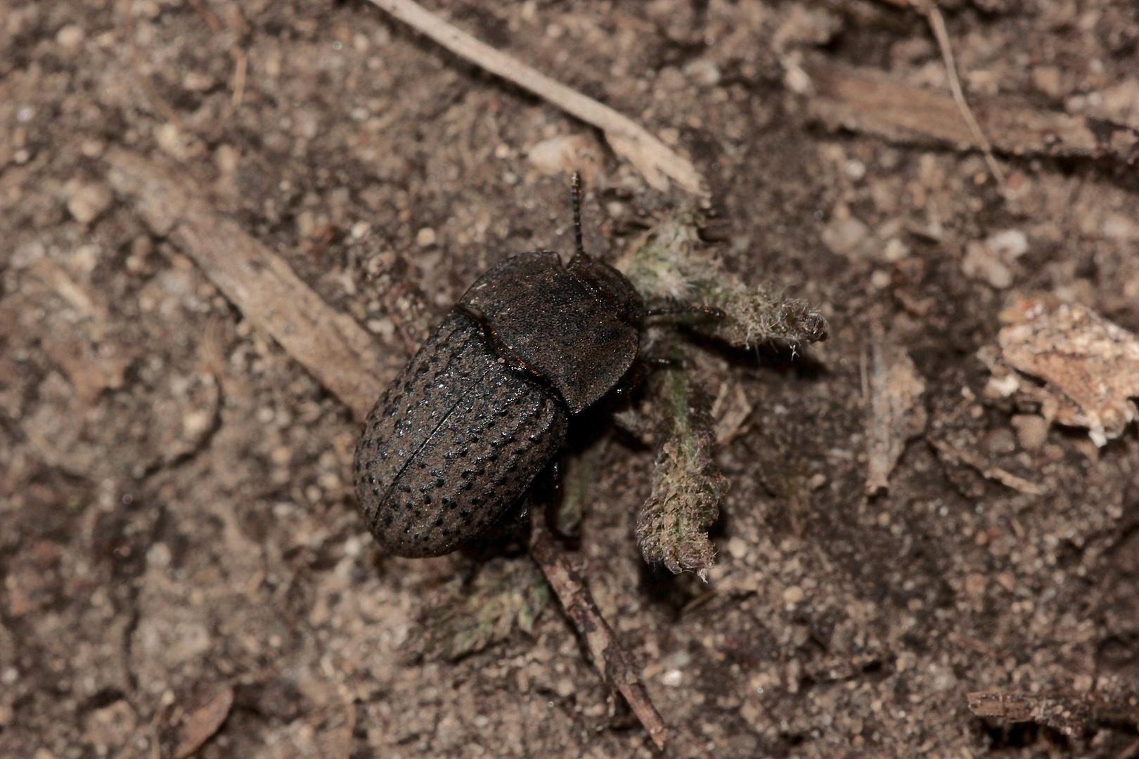 Der zu den Erdkäfern (Fam. Trogidae) gehörende Trox scaber