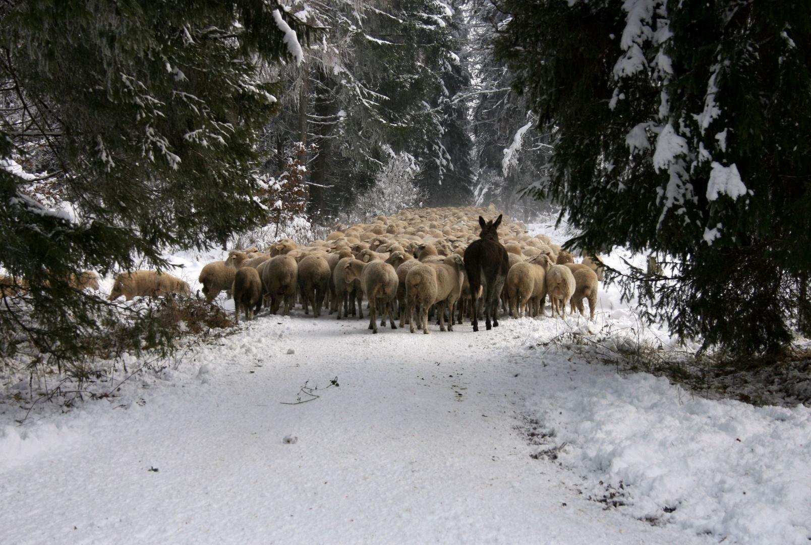 der Zug der Schafe