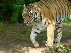 Der zungenzeigende Tiger
