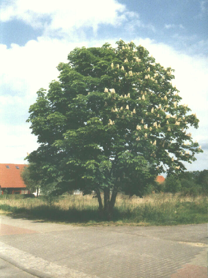 Der Zwei-Jahreszeiten-Baum.