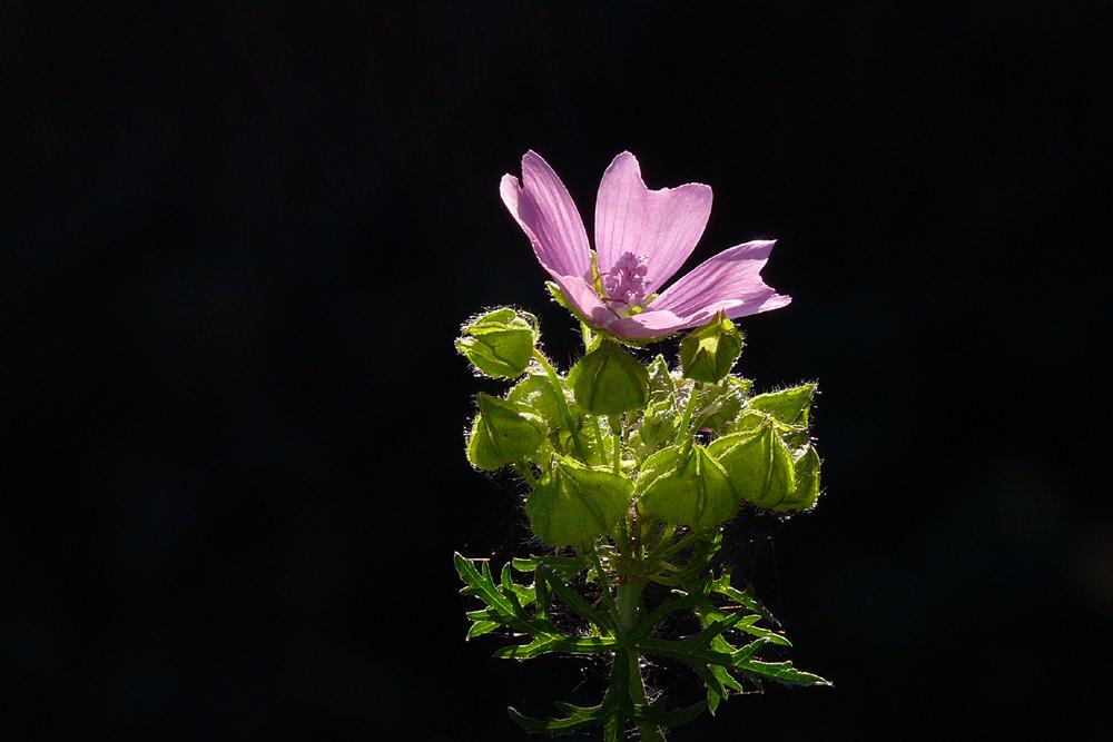 Dernière floraison estivale : la Mauve
