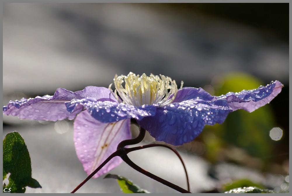 dernières clématites du jardin avant le repos hivernale