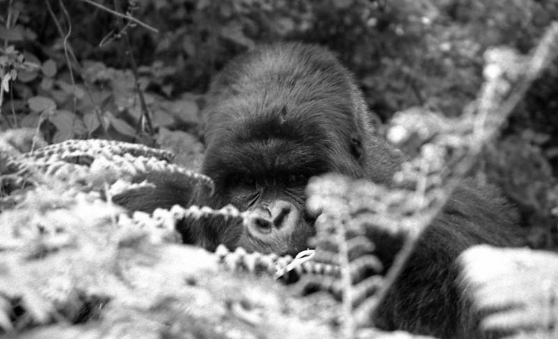Derniers gorilles 2