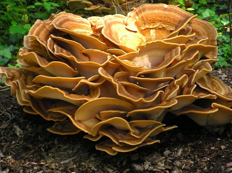 Derselbe Pilz im gleichen Herbst