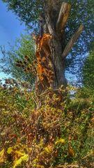 Des arbres qui saignent