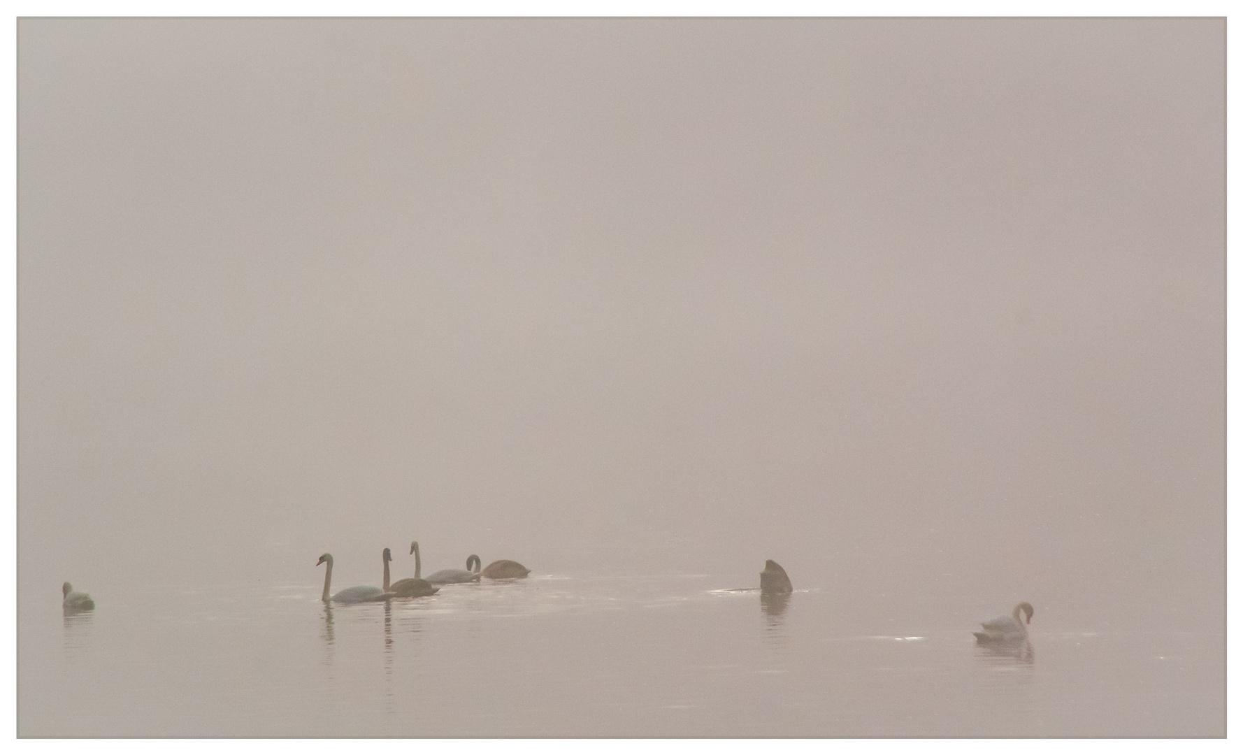 Des cygnes dans la brume