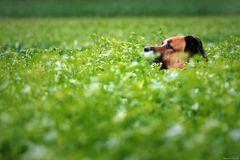 Des Gärtners Hund