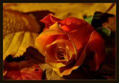 Des Herbstes letzte Rose