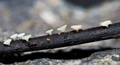 Des mini-champignons, comme de petits gobelets!… - Winzige weisse Becherchen, ca. 1-2 mm.