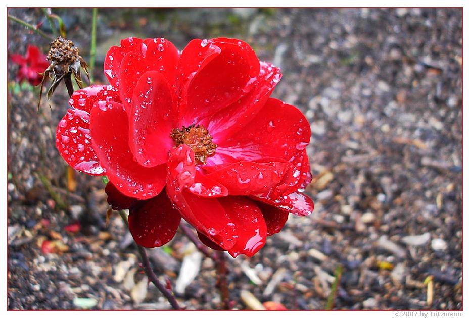 Des November's letzte Rose