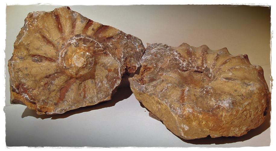 Des Rätsels-Lösung: Ammonit mit Gegenstück