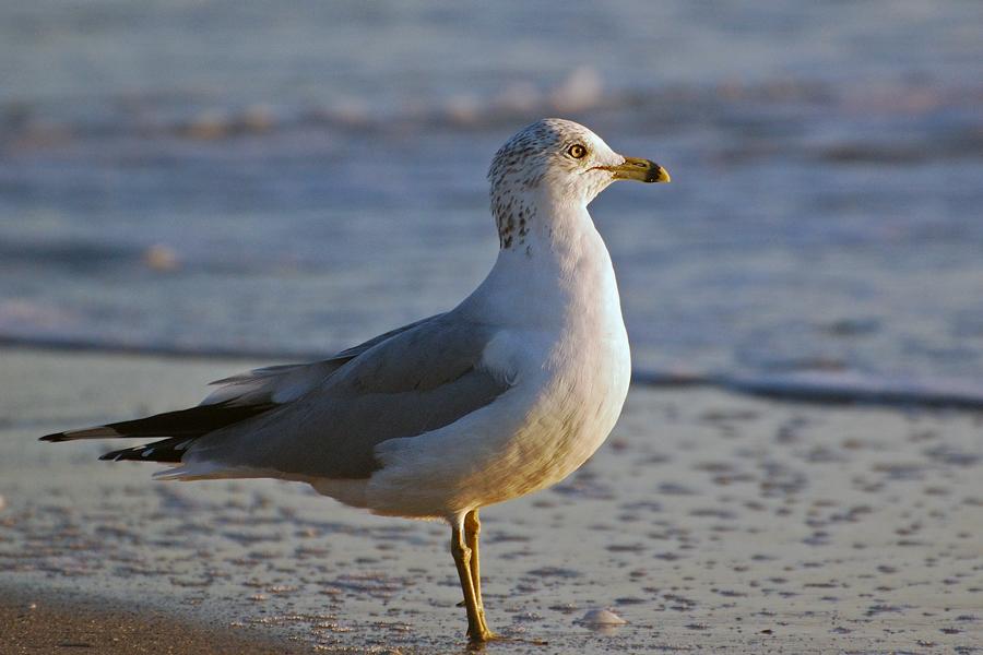 Des Rätsels Lösung: Ring-billed gull...