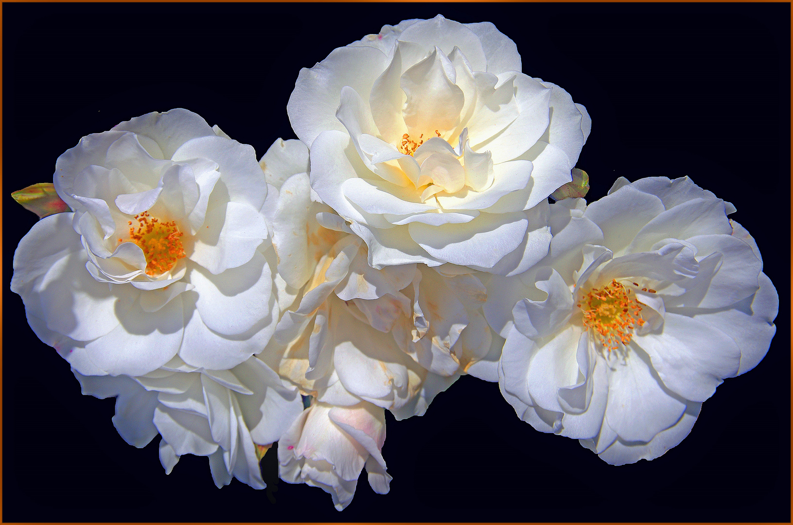 des roses comme haie....