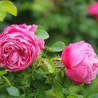 Des roses roses…