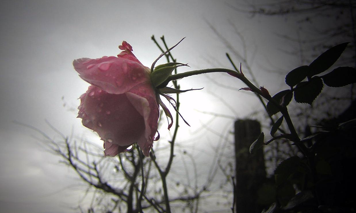 Des Sommers letzte Rose...