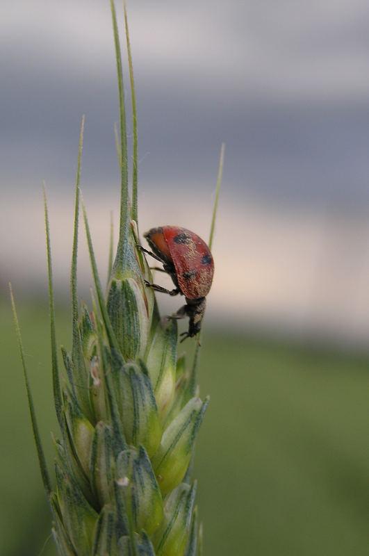 descendig ladybird