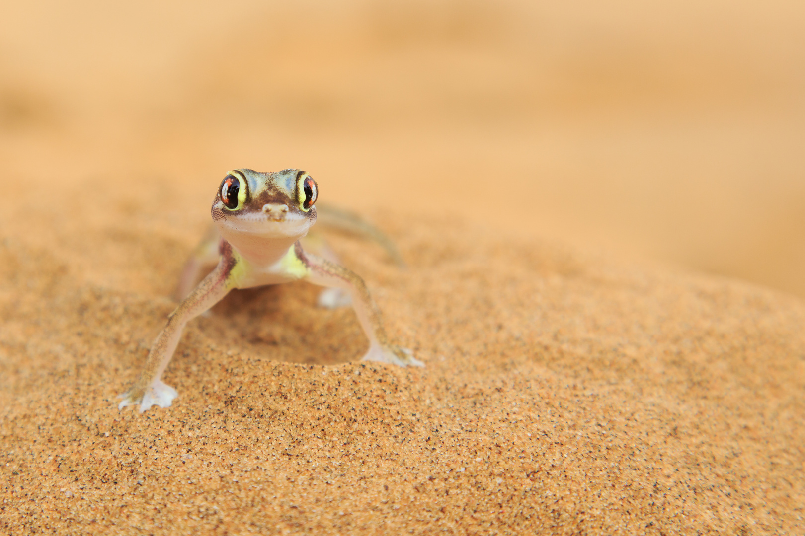 Desert gecko (Swakopmund/Namibia)