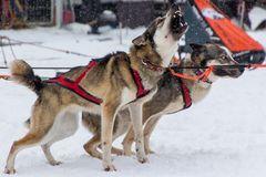 Desire to run - Schlittenhunderennen Weltmeisterschaft Todtmoos 2015
