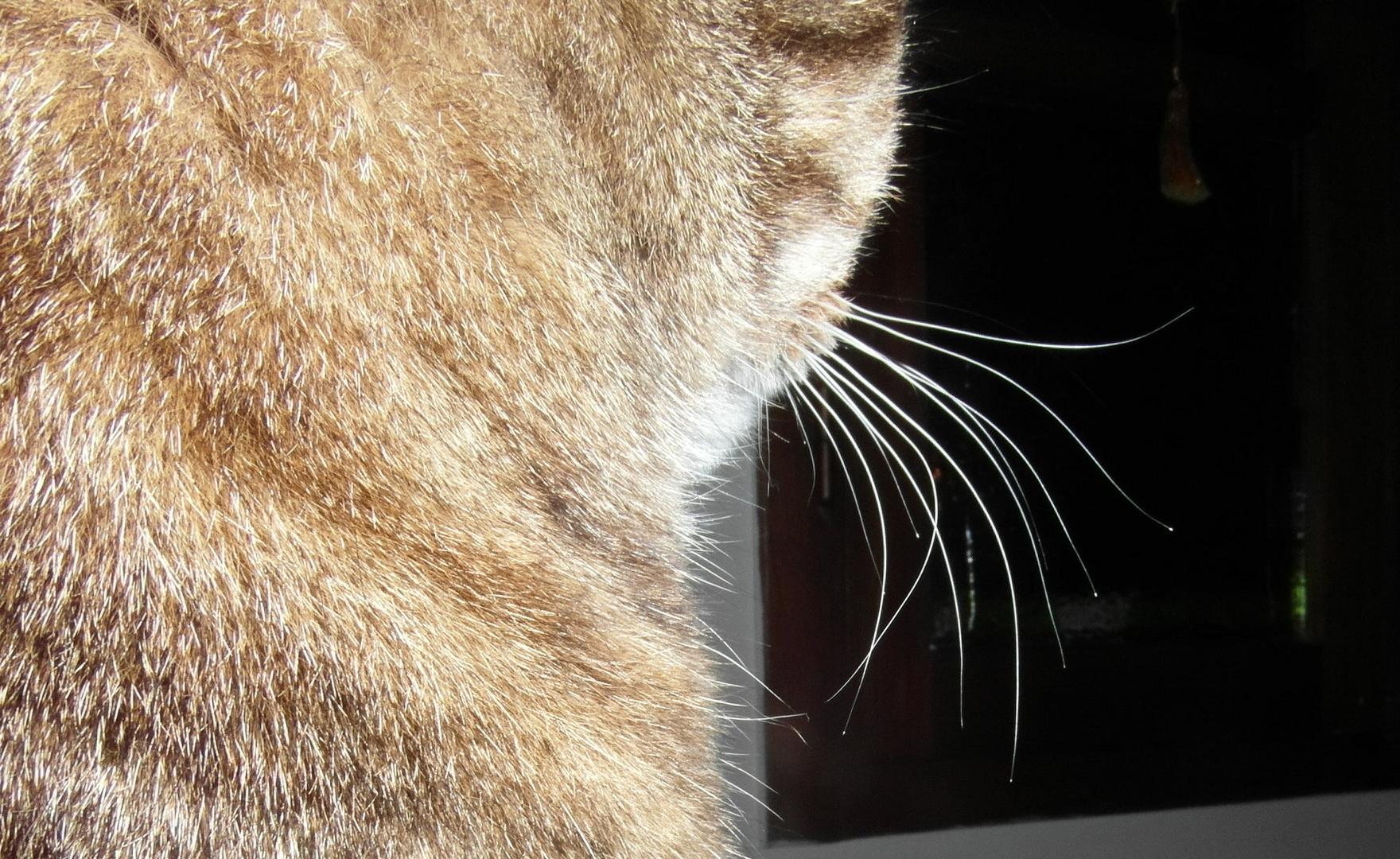 détail de moustaches d'un chat
