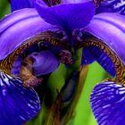 Detail der Iris....