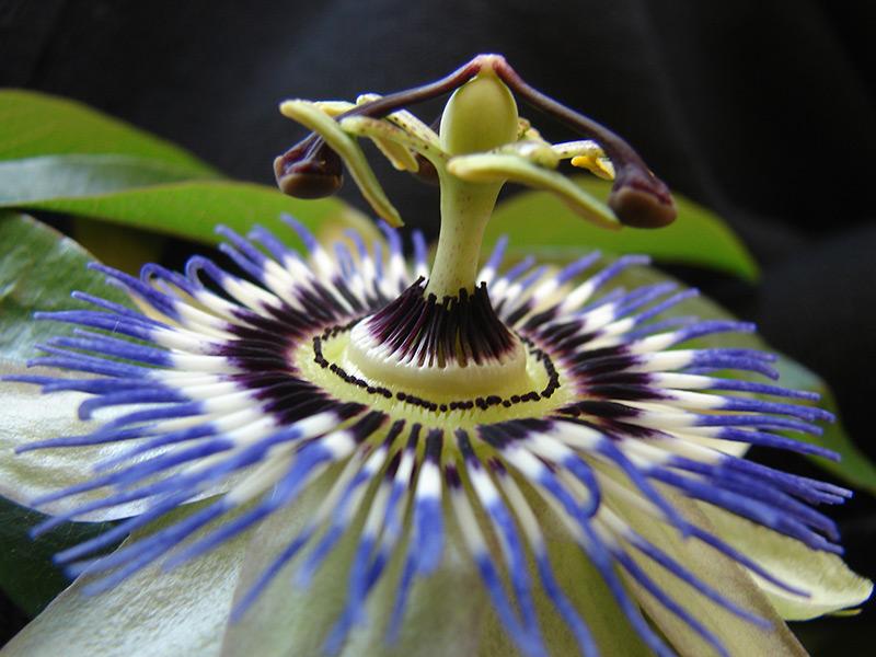 Detail einer Passionsblume
