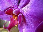 Detail einer Phalaenopsis