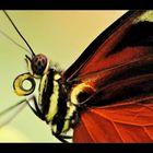 detail papillon