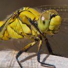 Detalle de libélula