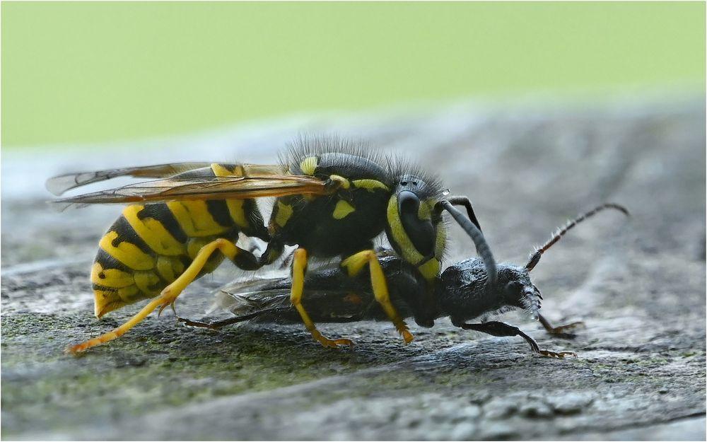 Deutsche Wespe mit Beute