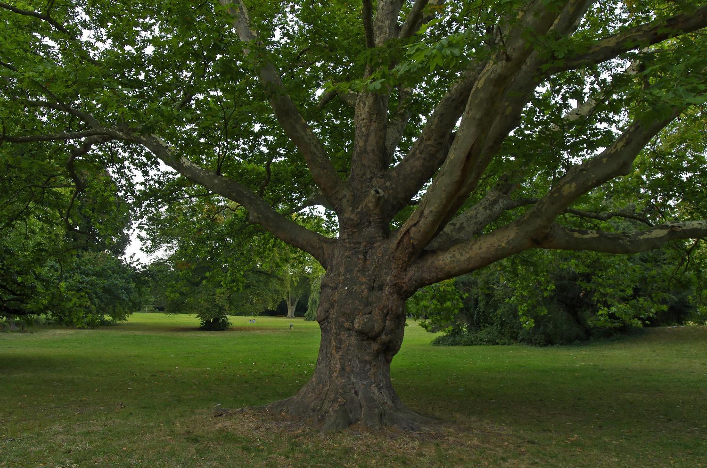 Deutscher Baum - Grueneburg Park, Frankfurt am Main