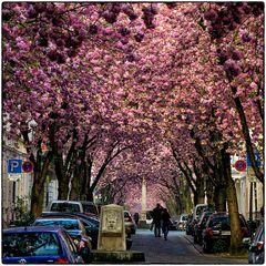 Deutschland im Quadrat - Kirschblüten