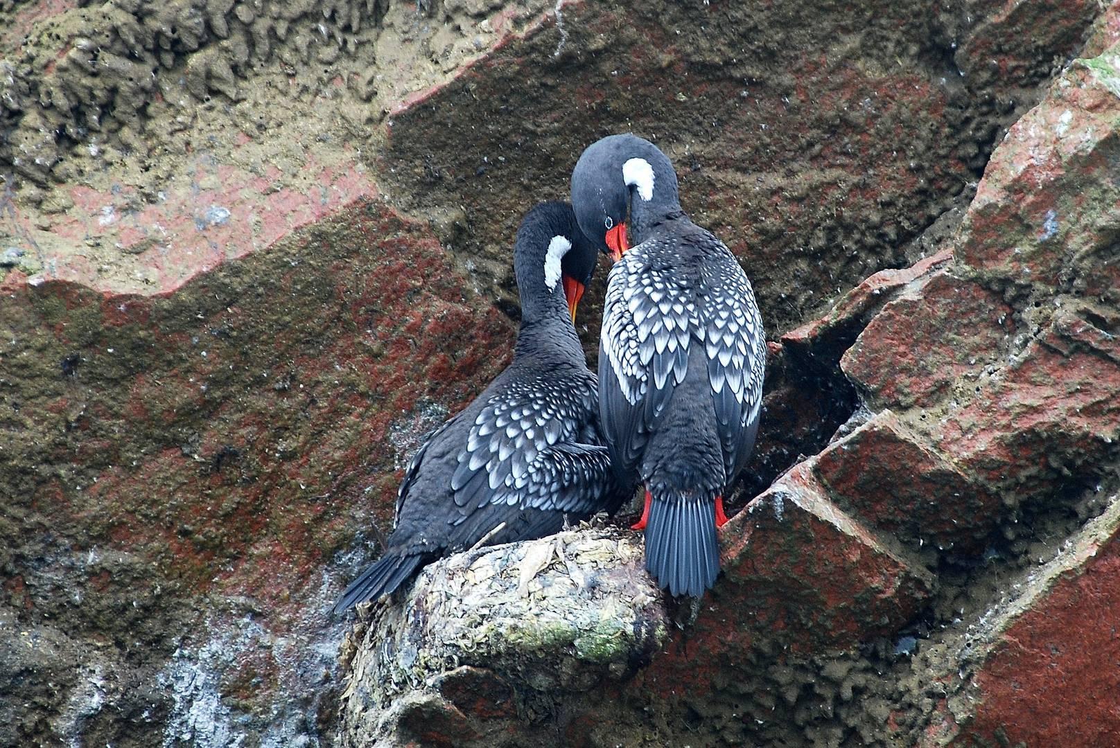 deux fous amoureux sur l'île Ballestas - Pacific - Pérou