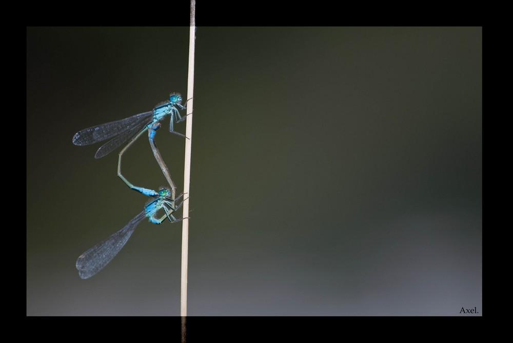 Deux libellules...